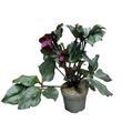 HELLEBORUS niger D17 X6 ROUGE