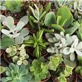 MINI PLANTE SUCCULENTE D05.5 x20 20Cm MIX