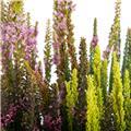 CALLUNA vulgaris D20 x2 Beauty L. Skyline Callune