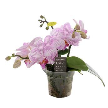 MINI PHALAENOPSIS hybride D07P x3 Miniflora Aristo Pink