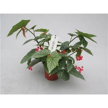 BEGONIA maculata D17 P Snow Cap