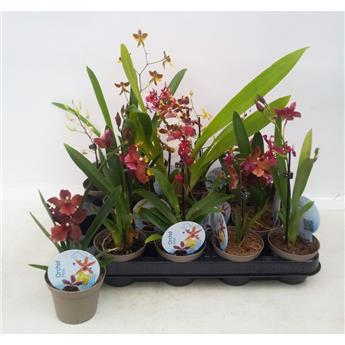 ORCHIDEE hybride D08 X8 MIX
