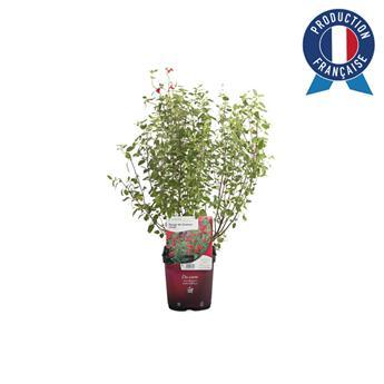 SALVIA microphylla C02 x8 ROUGE Sauge a petite fleur