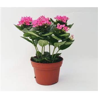 BOUVARDIA longiflora D12 P x8  Royal Roza Dark Pink