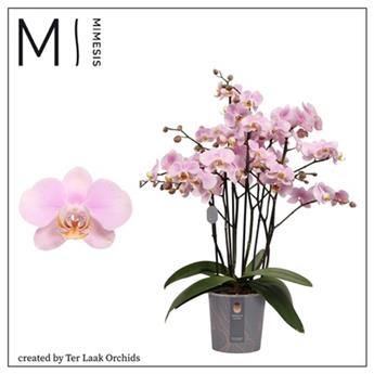 PHALAENOPSIS hybride D17  P Marvellous Light Pink
