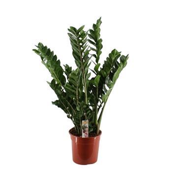 ZAMIOCULCAS zamiifolia D27 P 100-110CM
