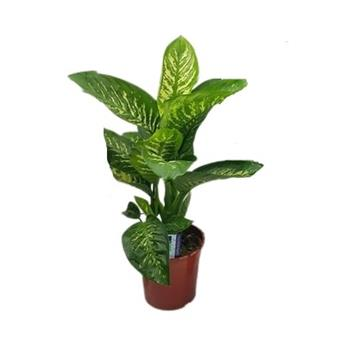 DIEFFENBACHIA maculata D24   P Green Magic Plante des sours