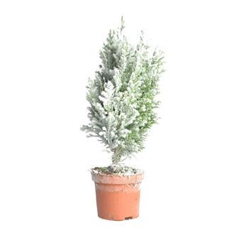 NOEL20 ELLWOODII FLOCKE D09 x18 M1-A Conifere
