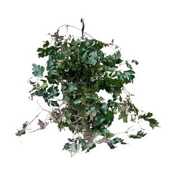 CISSUS rhombifolia D19 P Ellen Danica 45+CM