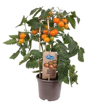 SOLANUM lycopersicum D14 P X4 Tomate Cherry Red Pick