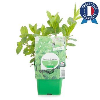 MENTHA spicata C075 x10 Menthe VERTE