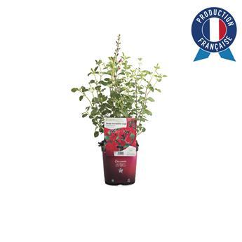 SALVIA microphylla C02 x8 Royal Bumble