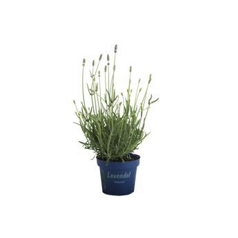 LAVANDULA angustifolia D12-13 x8 Lavande Vraie