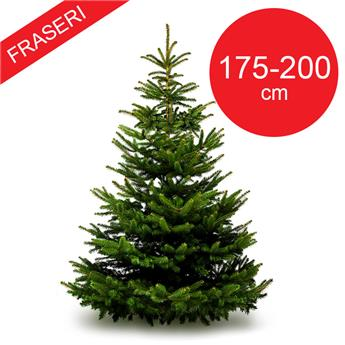 SC ABIES Fraseri 175-200CM TRONC 50MM