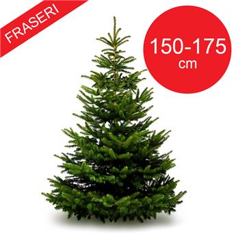 SC ABIES fraseri 150-175CM TRONC 50MM