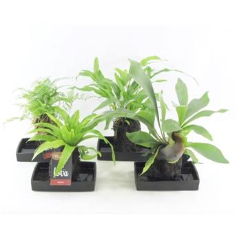 ARRANGEMENT PLANTES D14 P X3 LOVA support Lave MIX