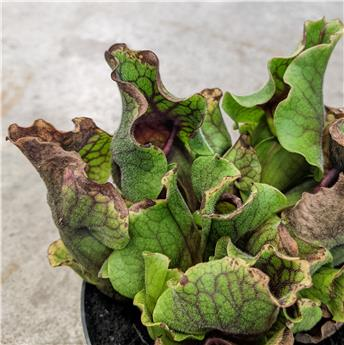 SARRACENIA purpurea D12 X6 MIX