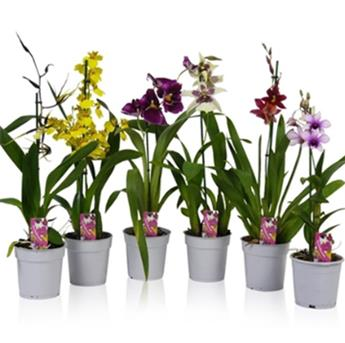 ORCHIDEE hybride D12 1BR P X10 MIX
