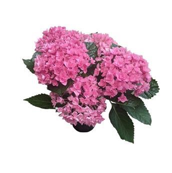 HYDRANGEA macrophylla D15 P X6 Early Rosa