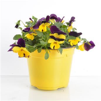 VIOLA cornuta D13 x10 Violette cornue