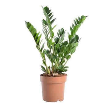 ZAMIOCULCAS zamiifolia D21 P 10+ 80-95CM