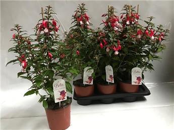 FUCHSIA hybride D17 P X6 Bella Fuchsia Evita