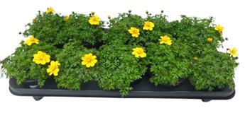 BIDENS ferulifolia D12 X8 ORANGE BICOLORE