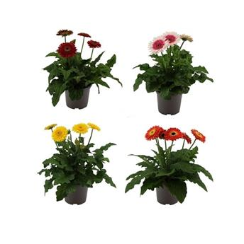 GERBERA jamesonii D21 P Patio MIX XXL