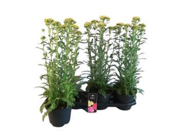 ACHILLEA millefolium D11 P X10