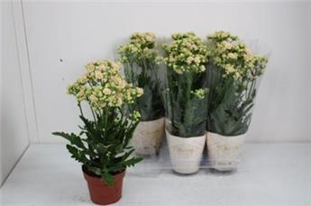 KALANCHOE blossfeldiana D14 x6 Sunny White