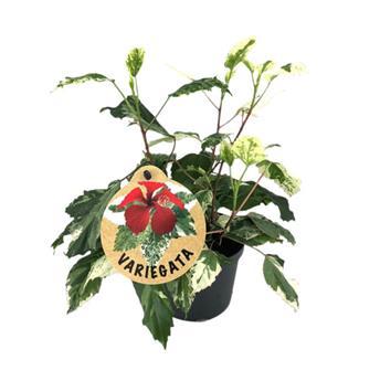 HIBISCUS rosa sinensis D12 x8