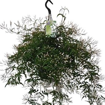 JASMINUM polyanthum D23 P SUSPENSION