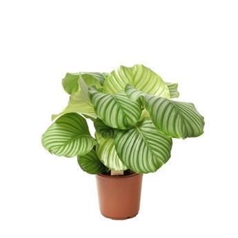 CALATHEA orbifolia D21 P 70CM