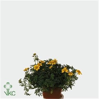 BIDENS ferulifolia D10 P x12