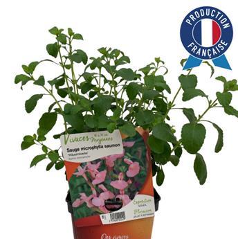 SALVIA microphylla C02 x8 Ribambelle