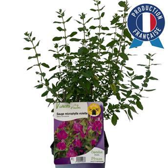 SALVIA microphylla C02 x8 VIOLETTE  Sauge a