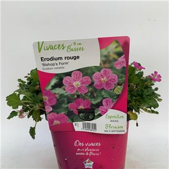ERODIUM variabile C02 x8 Bishop s form