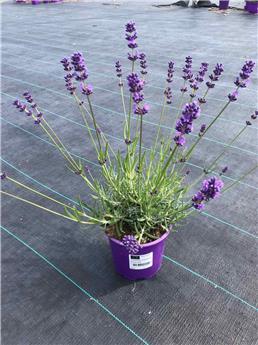 LAVANDULA angustifolia D13