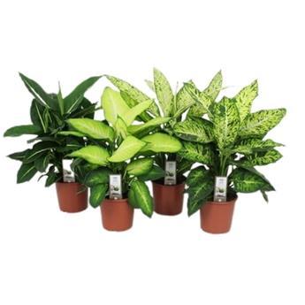 DIEFFENBACHIA maculata D17 P x6 MIX Luxery
