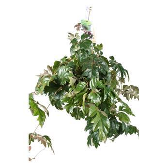 CISSUS rhombifolia D17 P Ellen Danica