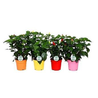 HIBISCUS rosa sinensis D17 P MIX 45cm