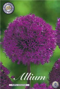 BULBE ALLIUM 12-14 SACHET DE 15 Purple Sensation