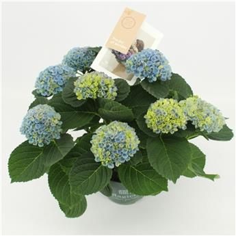 HYDRANGEA macrophylla D14 P X6 Magical Revolution Blue