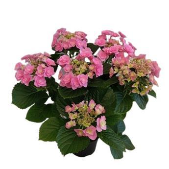 HYDRANGEA macrophylla D14 P X6 Hovaria MIX