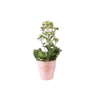 KALANCHOE blossfeldiana D14  P x6 Femini Pink