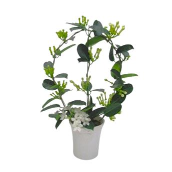 STEPHANOTIS floribunda D12C P X6 Elegance 7-8 CERAMIQUE