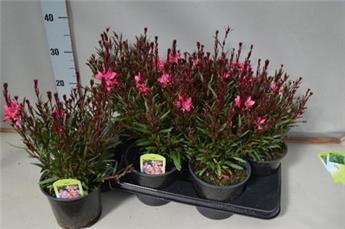 GAURA lindheimeri D15 x6 Belleza Dark Pink