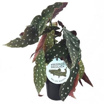 BEGONIA maculata D12 X8
