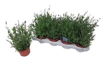 LAVANDULA angustifolia D12 x8 Ardeche Blue