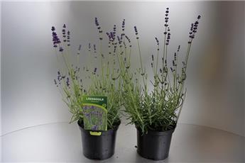 LAVANDULA angustifolia D17 Hidcote blue